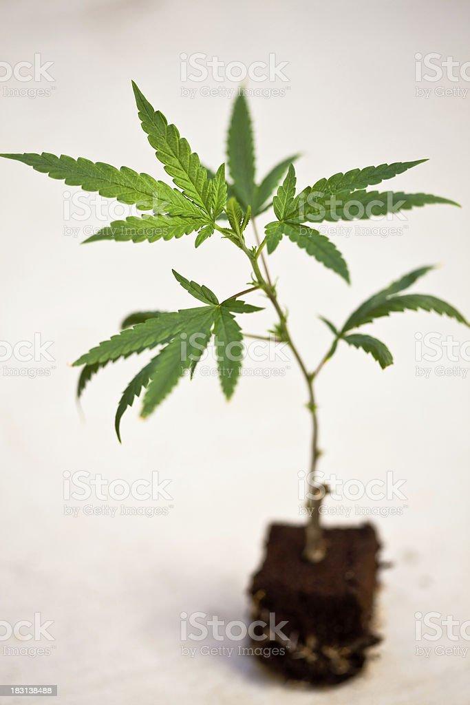 Cannabis Clone royalty-free stock photo