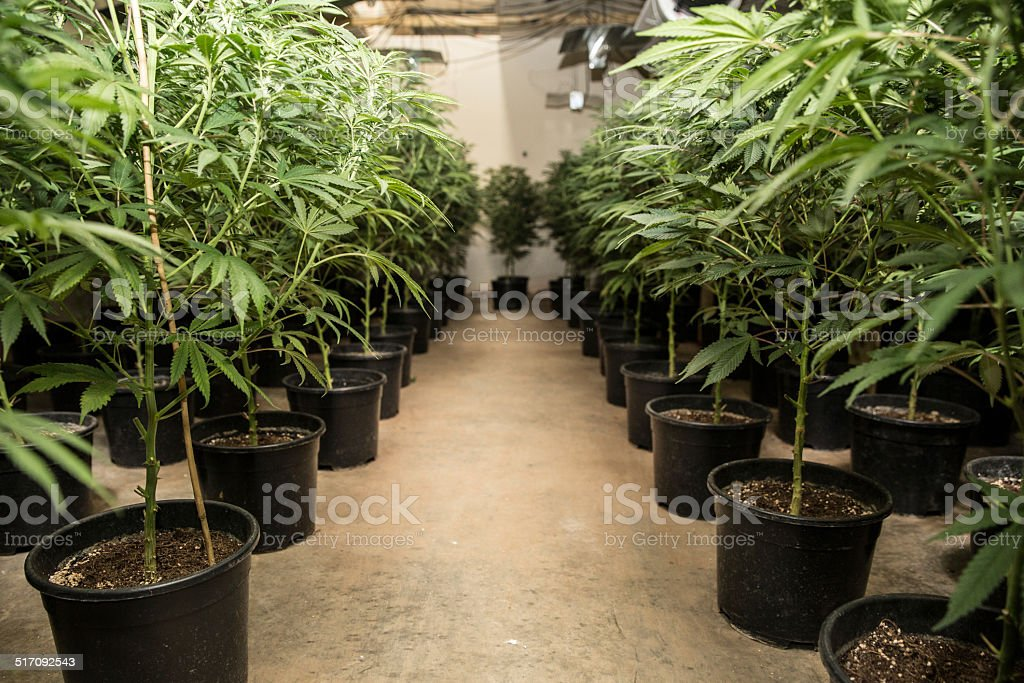 Cannabis Farm stock photo