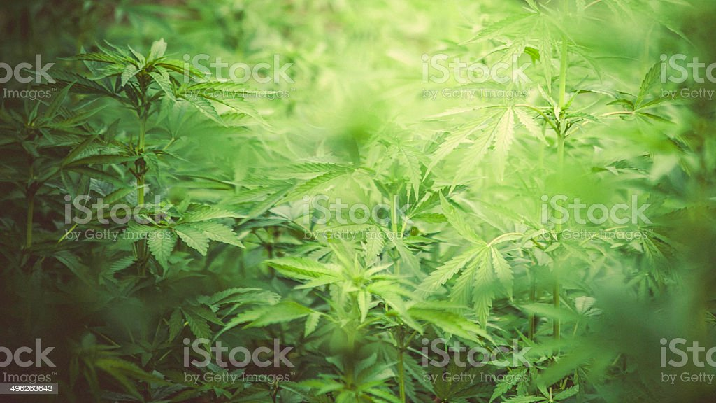 Cannabis field. stock photo