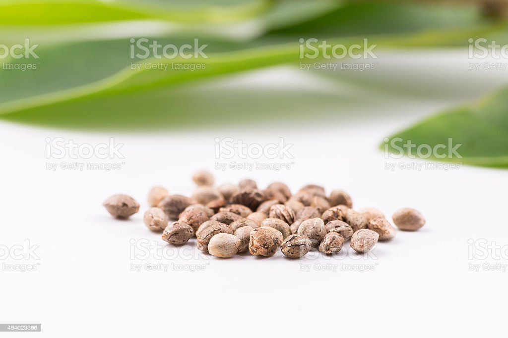 cannabis hemp seed sheet stock photo