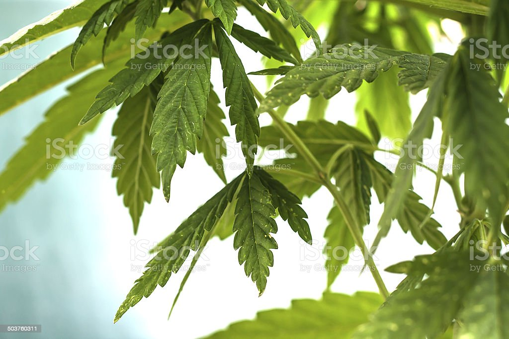 cannabis leaves background stock photo