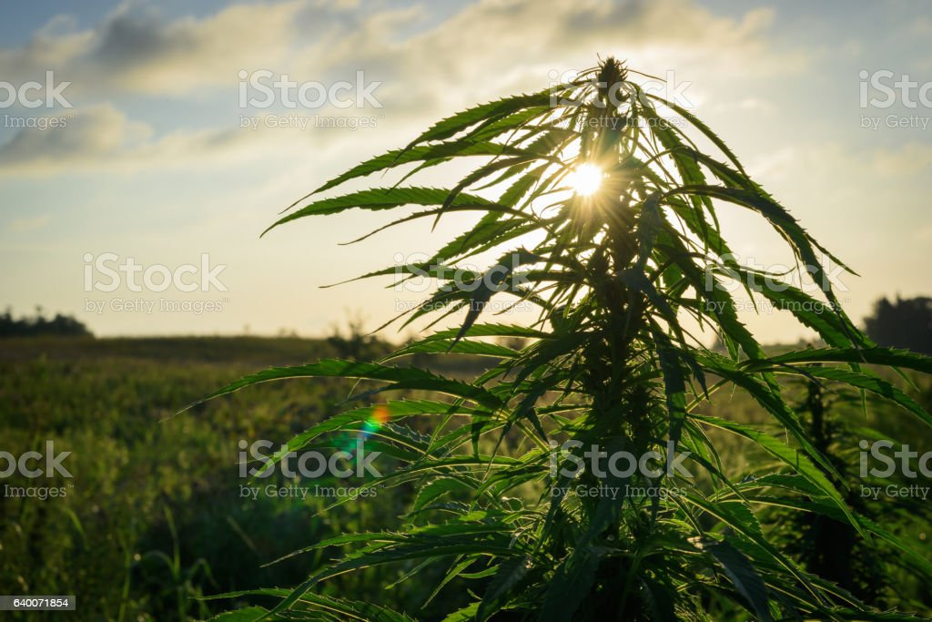 Cannabis plant in field stock photo