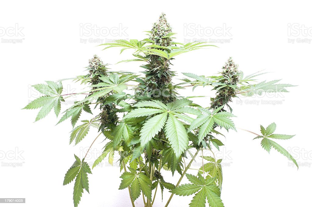Cannabis plant royalty-free stock photo