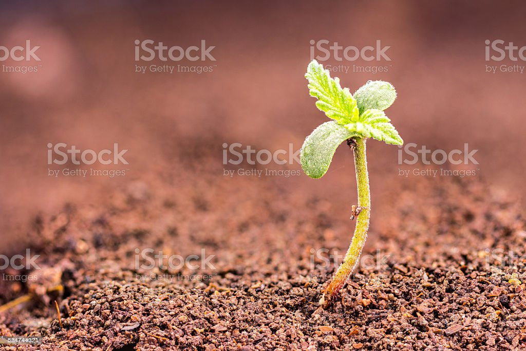 Cannabis Sprout stock photo