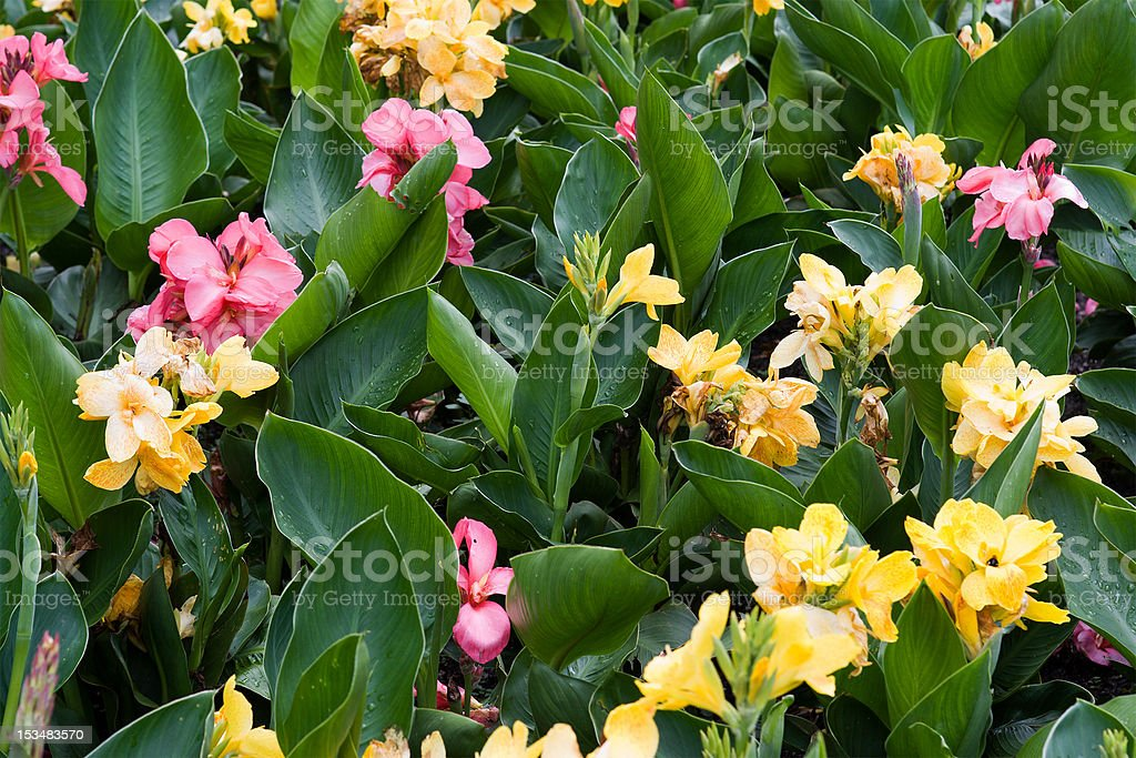 Cannaceae - Assorted Canna Lilies royalty-free stock photo