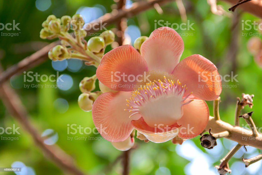 Cannonball flower close up royalty-free stock photo