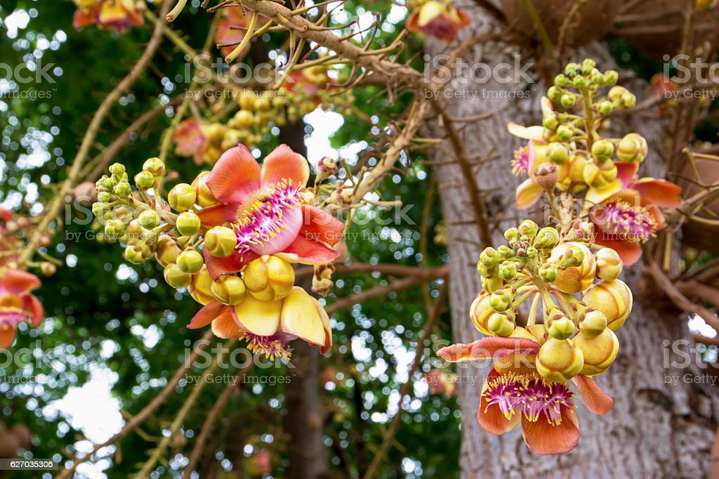 Cannonball flower of Cannonball Tree or Sal Tree stock photo