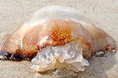 Cannonball Jellyfish in the Sand