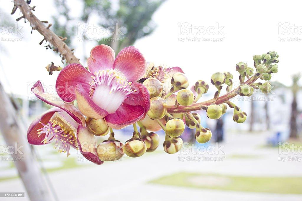 Cannonball tree; Couroupita guianensis Aubl. stock photo