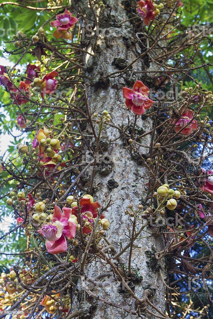 Cannonball tree(Eng)- Couroupita Guianensis(Lat) stock photo