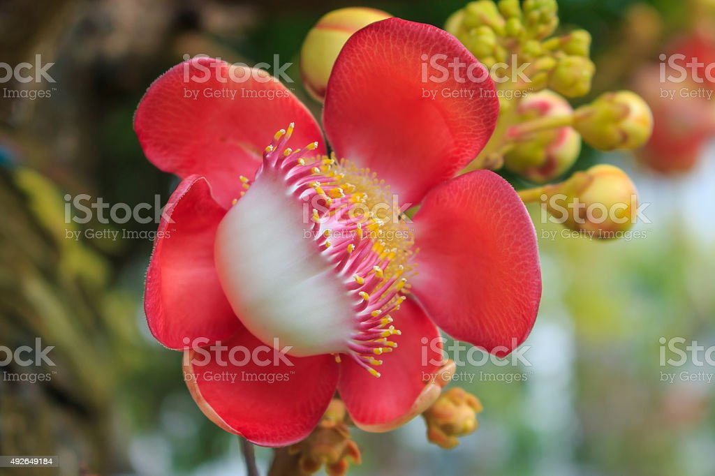 Cannonball Tree flower (Couroupita guianensis) over green background, selective focus stock photo