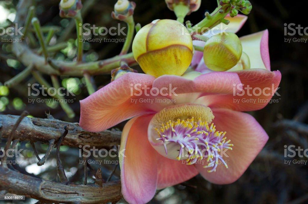Cannonball tree stock photo