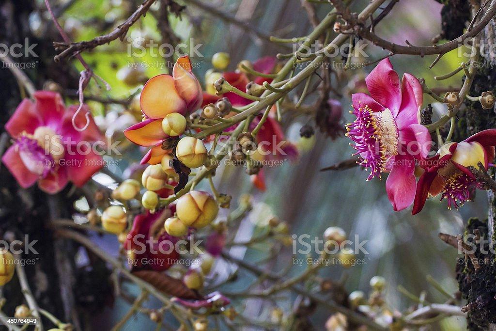 Cannonball tree(Eng)Couroupita guianensis(Lat) stock photo