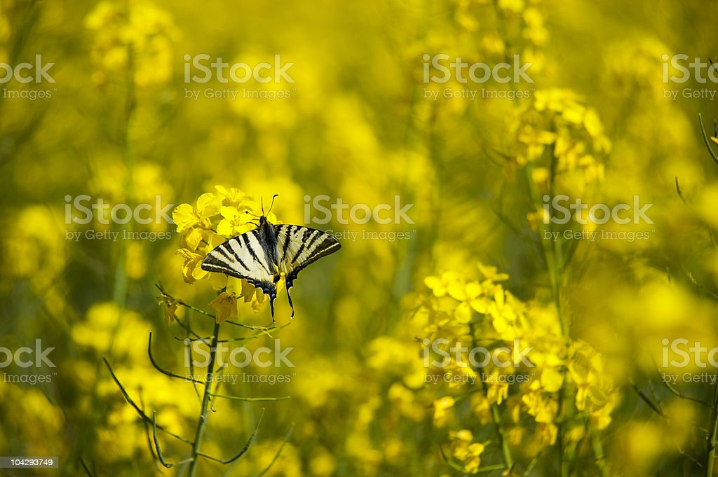 canola and butterfly royalty-free stock photo