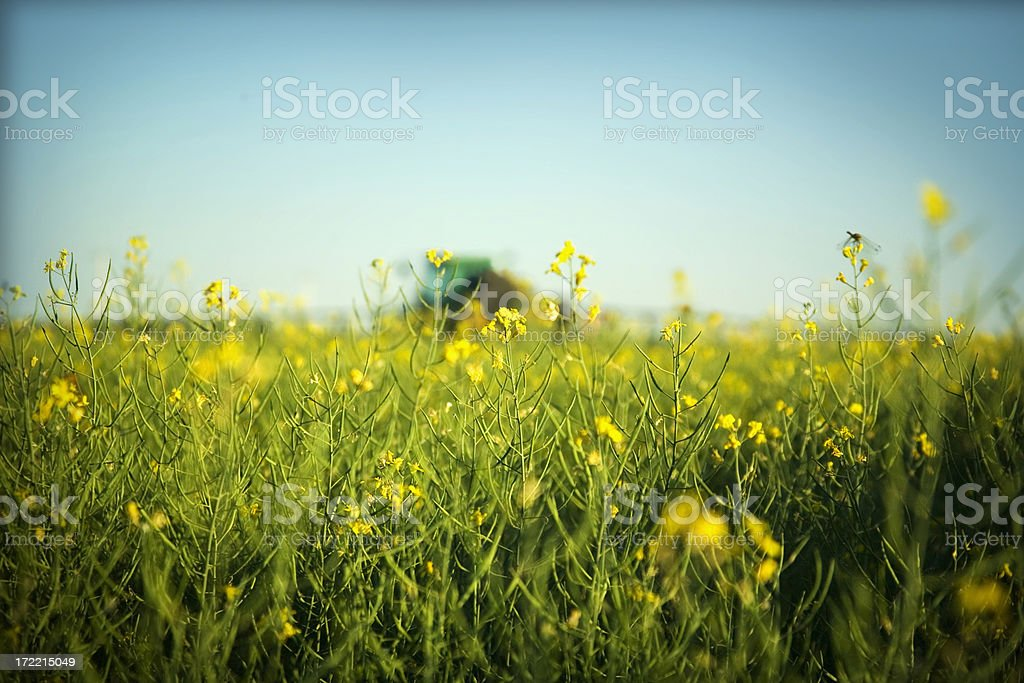 canola blooms royalty-free stock photo