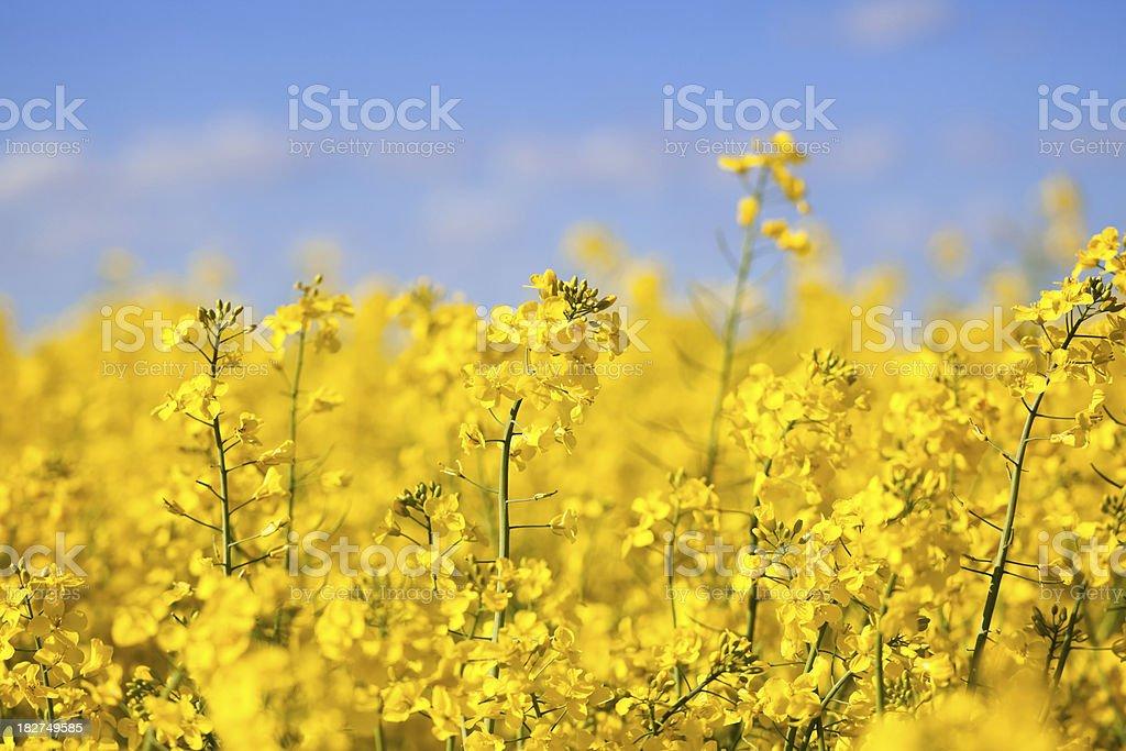 Canola Blossom stock photo