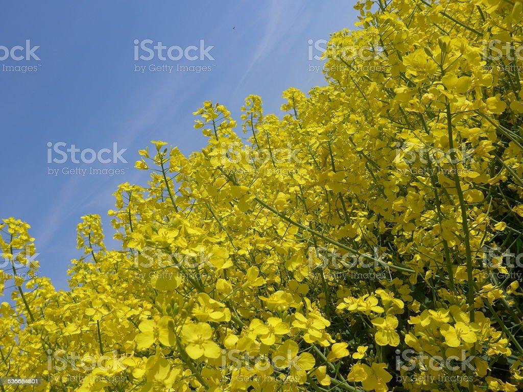 Canola flor-Imagen foto de stock libre de derechos