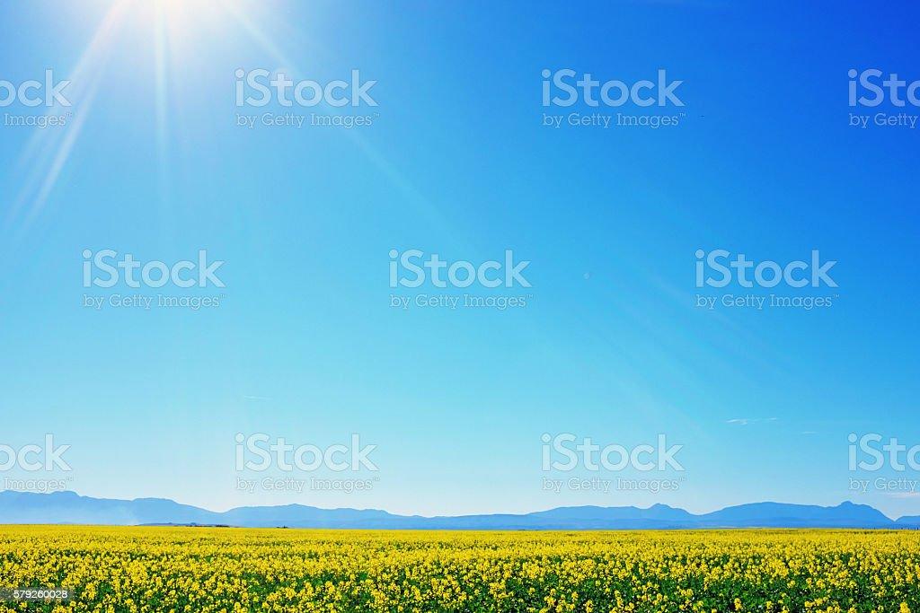 Canola crop ripening in the sun in farm field stock photo