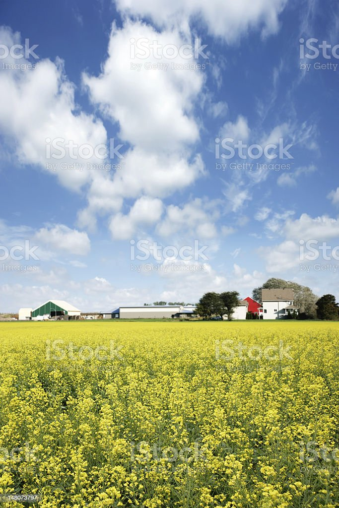XXXL canola farm royalty-free stock photo