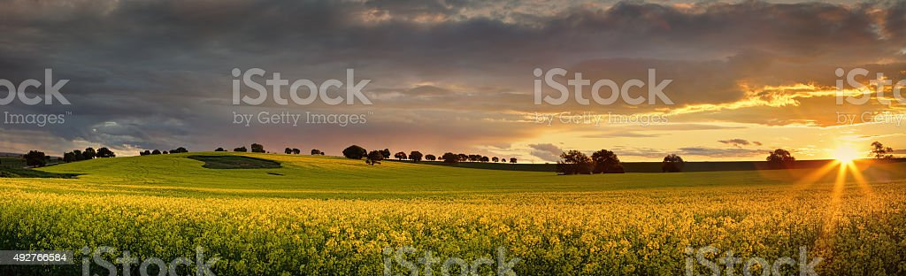 Canola farmlands as the sun sets stock photo
