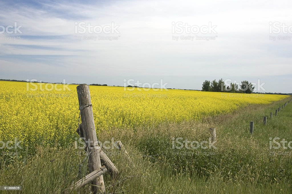 Canola Field and Barbed Wire Fence royalty-free stock photo
