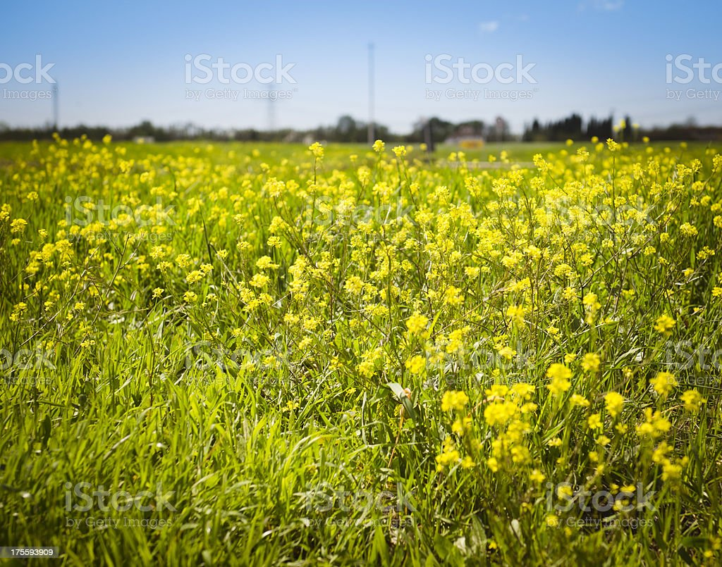 Canola field and flowers on spring royalty-free stock photo