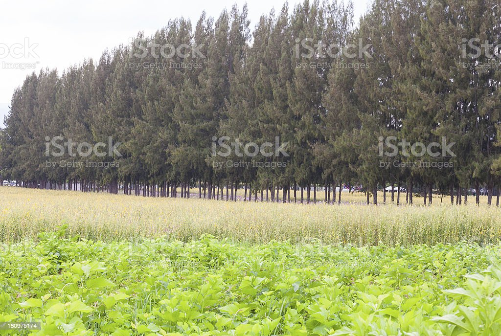 Canola field and pine trees stock photo