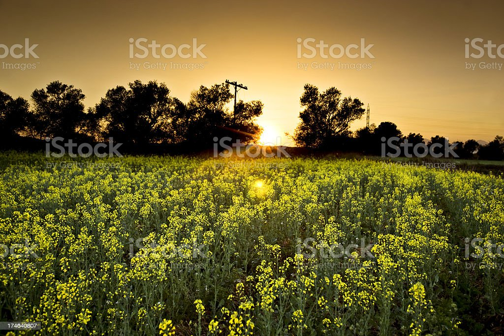 Canola field at evening royalty-free stock photo