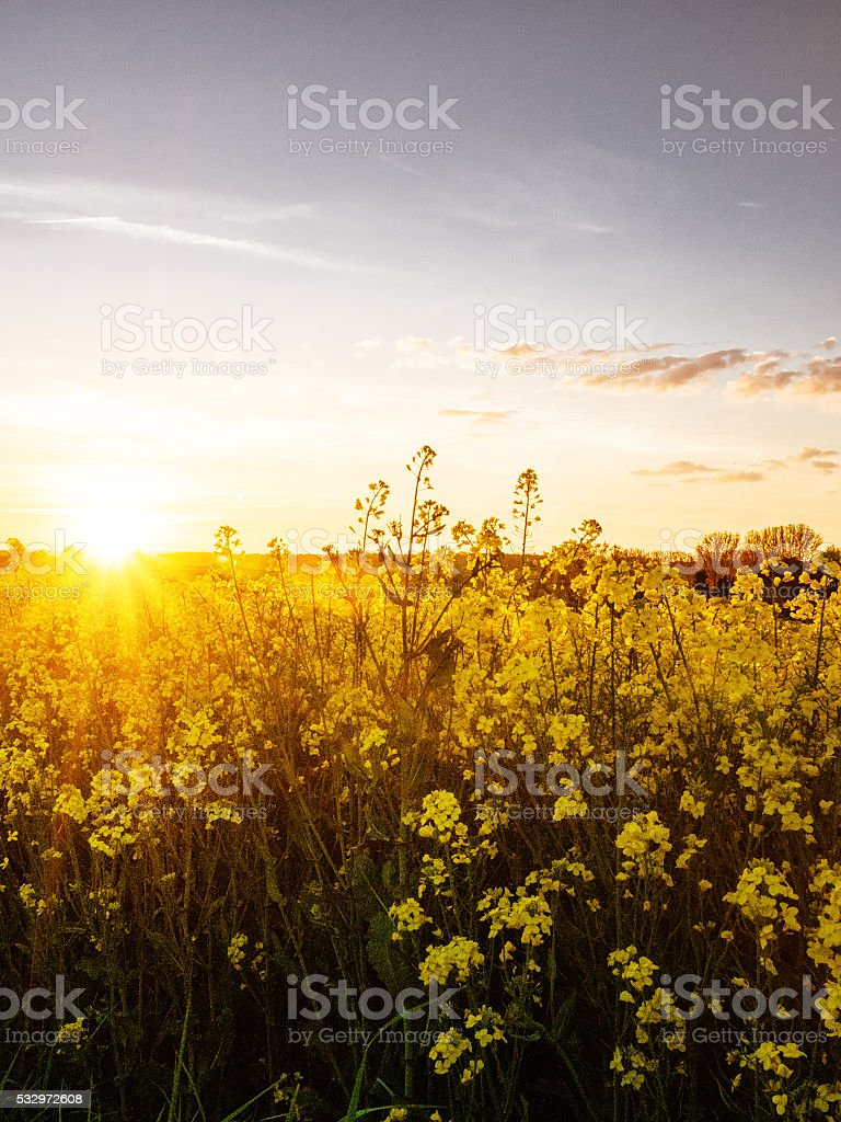 Canola field at sunset stock photo