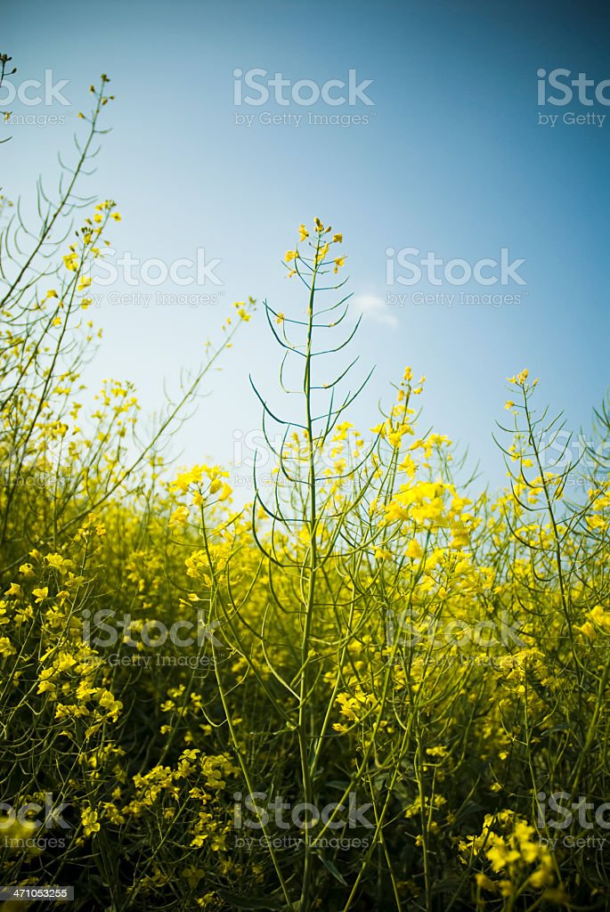Canola Field Close-up royalty-free stock photo