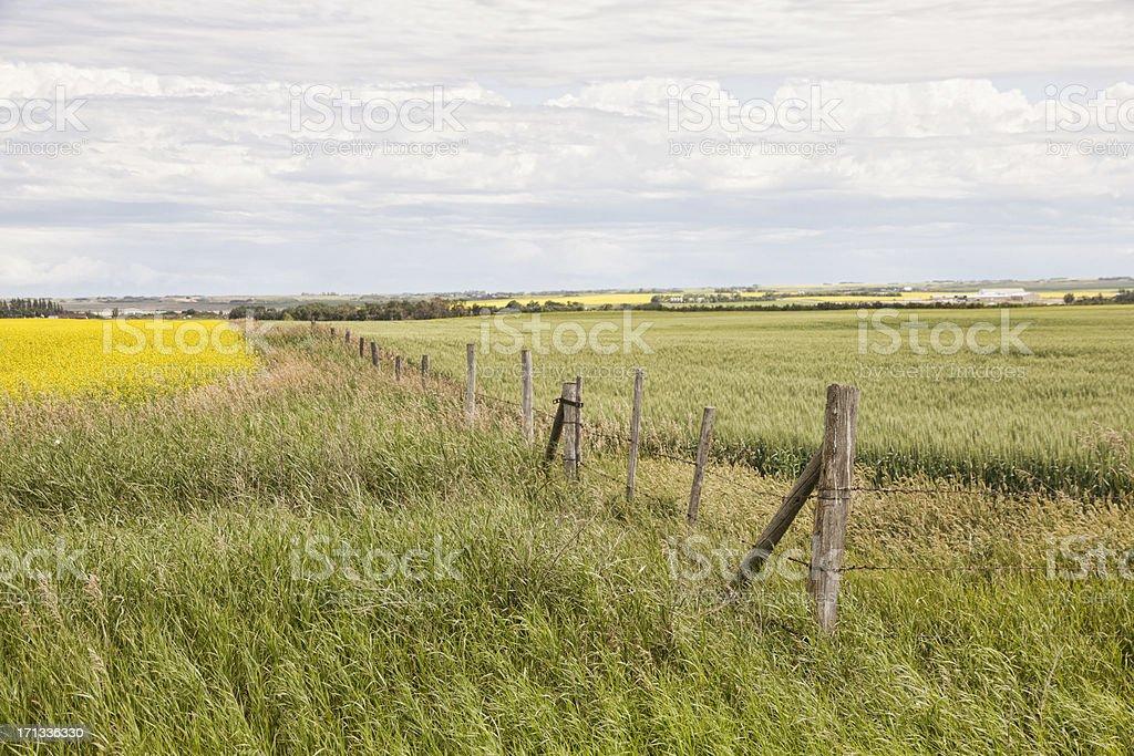 Canola Field East of Saskatoon royalty-free stock photo