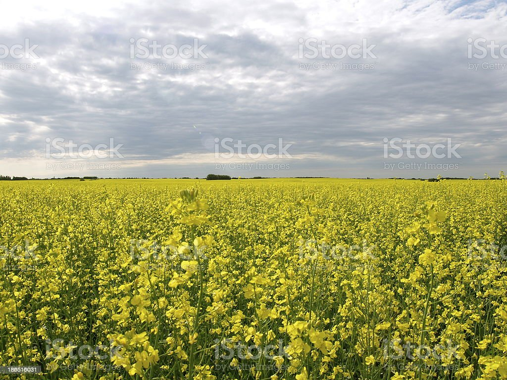 Canola field in bloom under grey clouds royalty-free stock photo