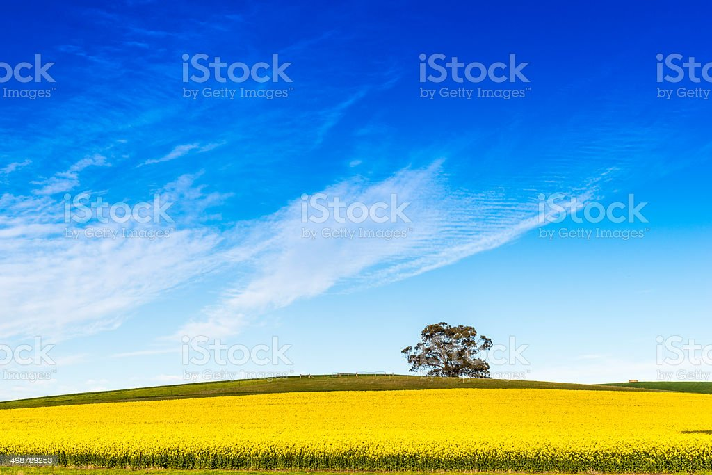 Canola Field in Flower, Blue Sky, Wispy Clouds stock photo
