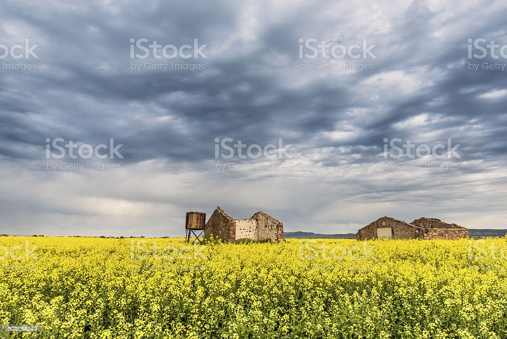 Canola Field in Flower, Storm Clouds, Old Ruins, Australia stock photo