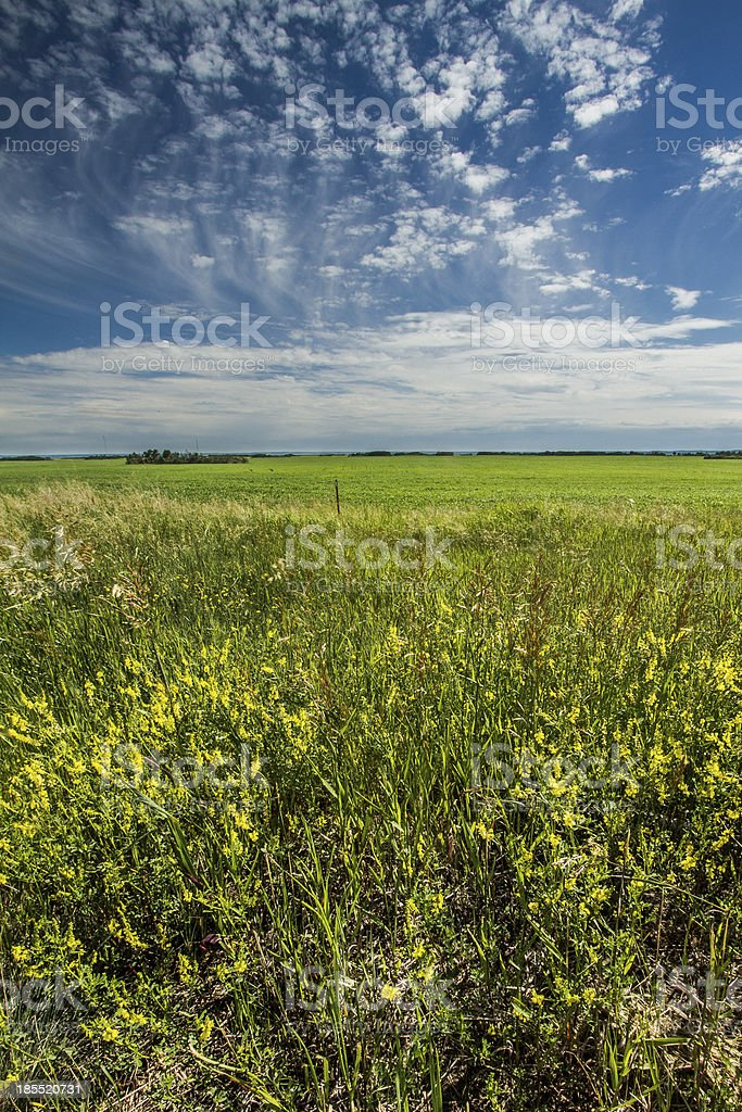Canola field in Saskatchewan royalty-free stock photo