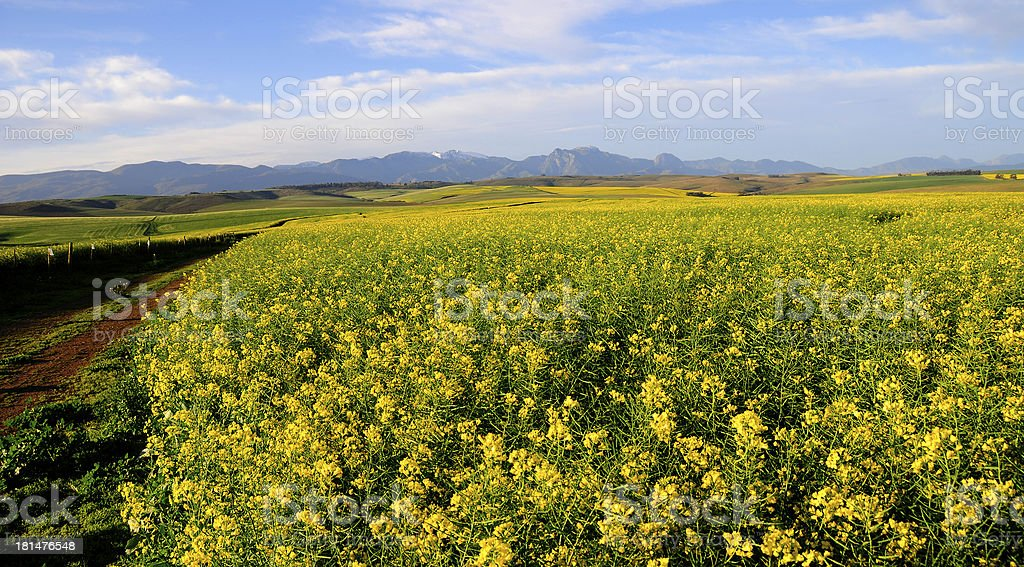 Canola field in the Overberg - South Africa royalty-free stock photo