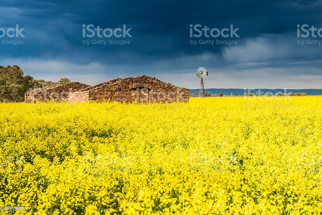 Canola Field, Old Ruin, Windmill and Storm Clouds, Australia stock photo