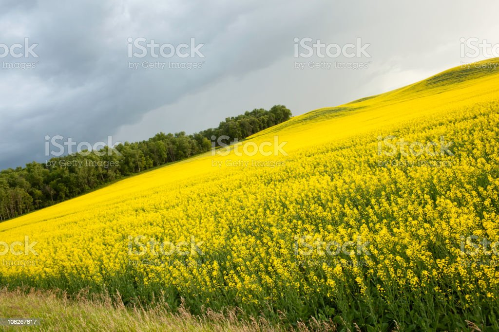 Canola Field on a summer evening royalty-free stock photo