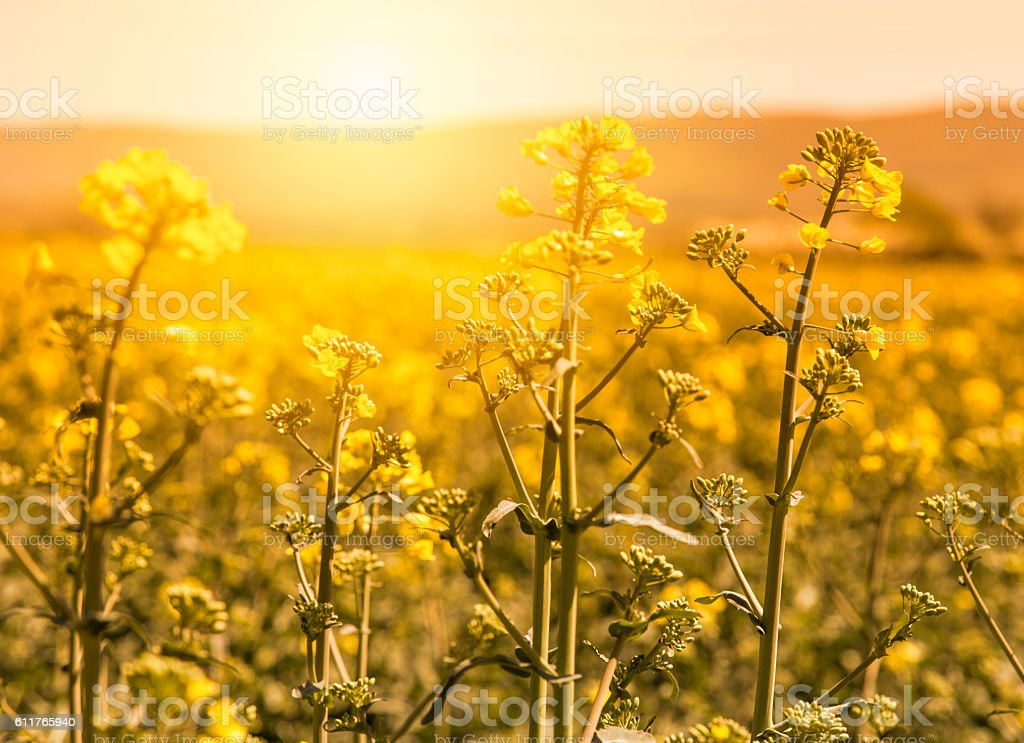 Canola field on bright summer day stock photo