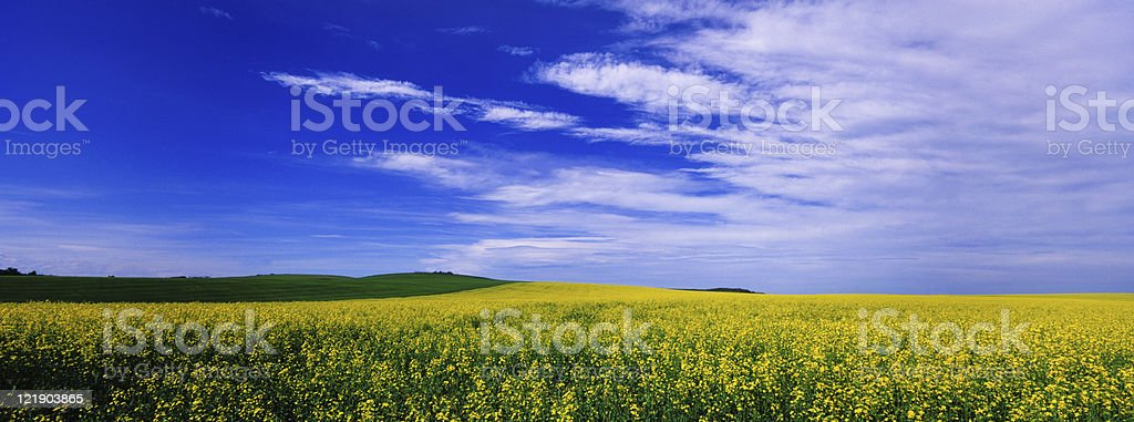 Canola Field Panoramic with Blue Sky stock photo