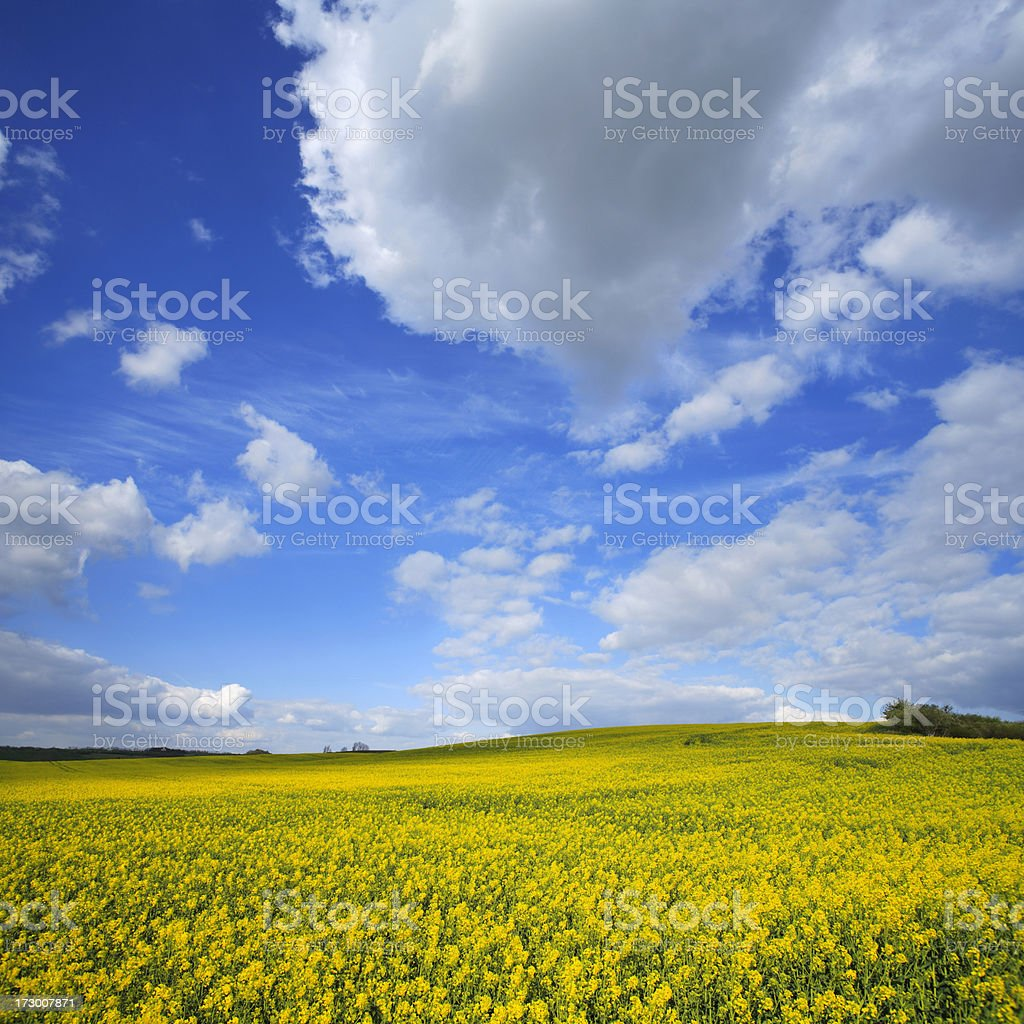 Canola Field royalty-free stock photo