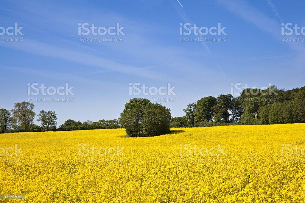 canola field stock photo