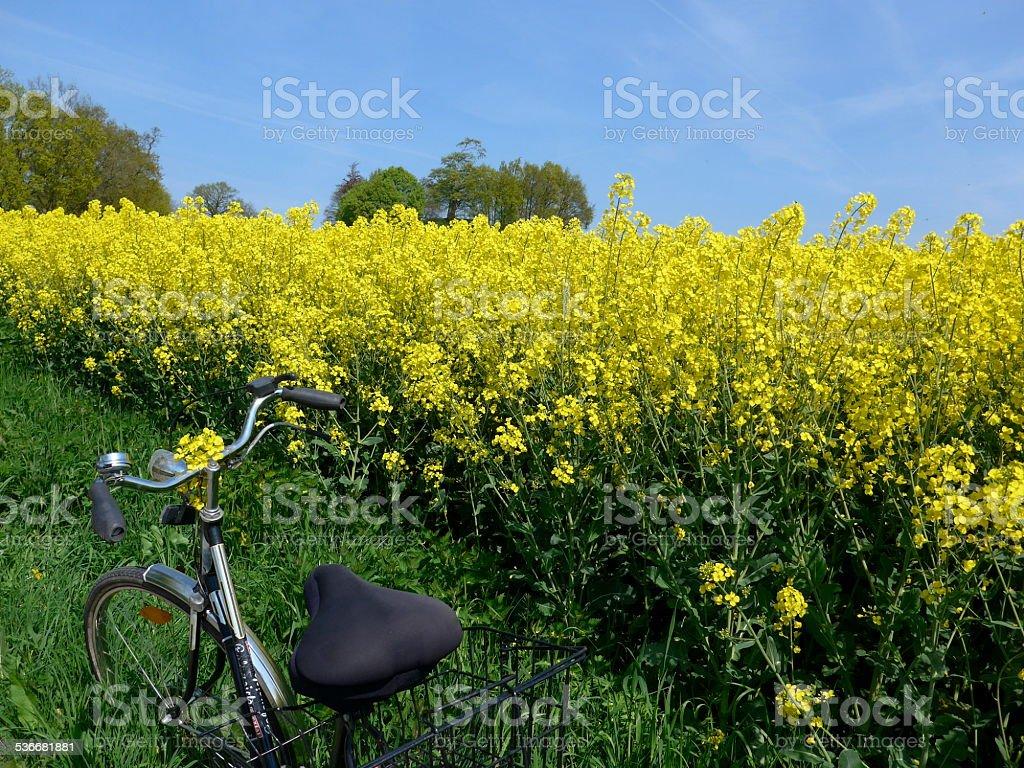 Canola Field-Imagen foto de stock libre de derechos