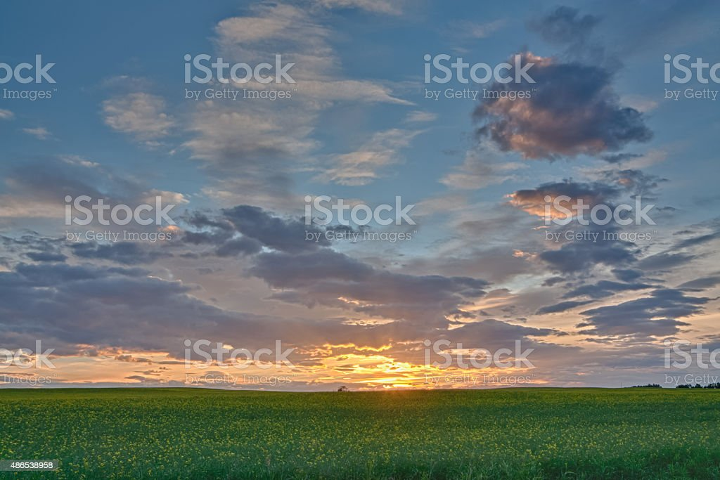 Canola Field Sunset stock photo