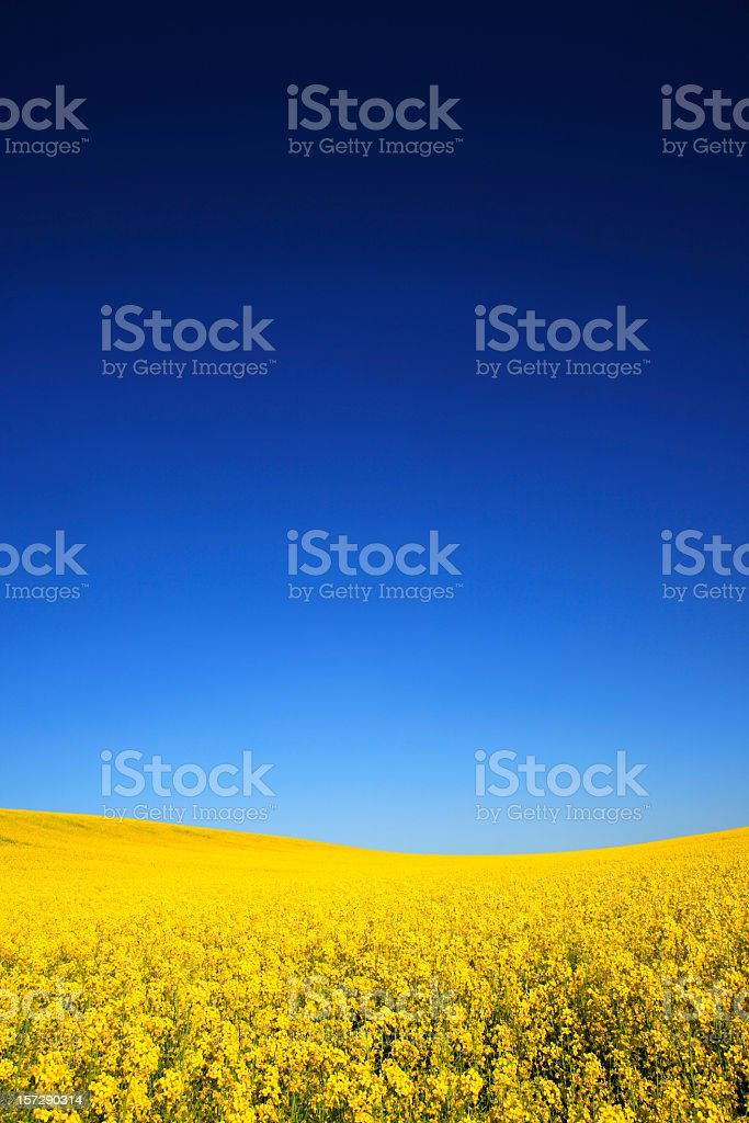Canola Field under Deep Blue Sky stock photo