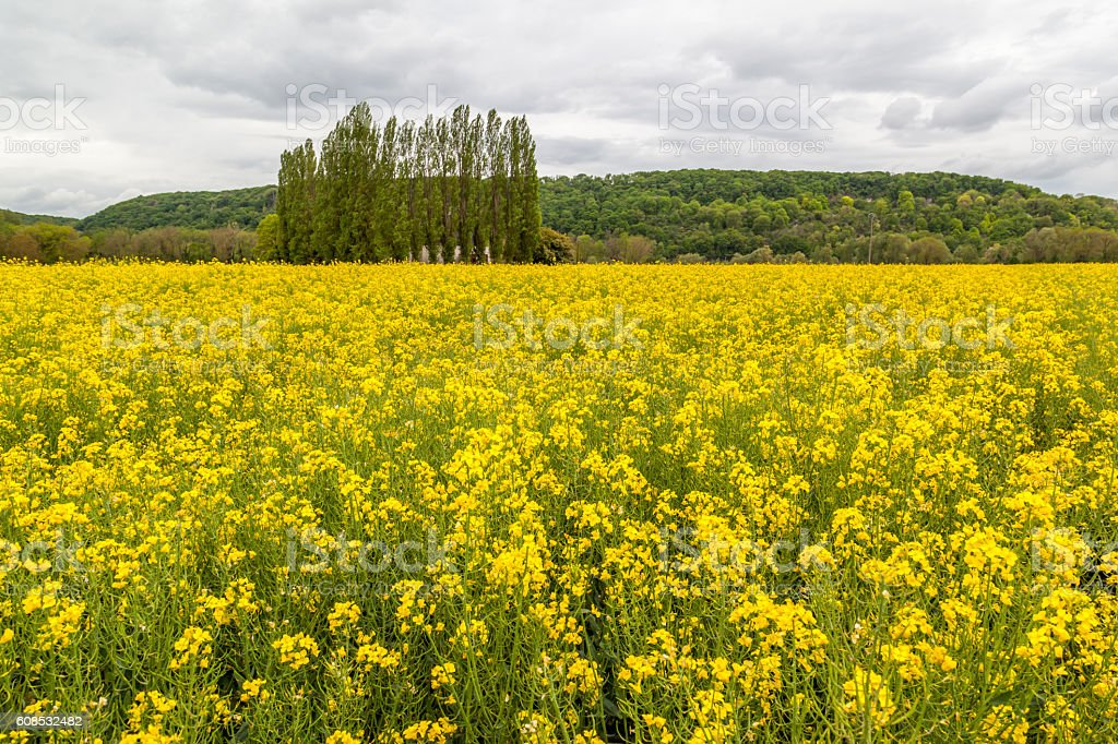 Canola field with hill and tree in background stock photo