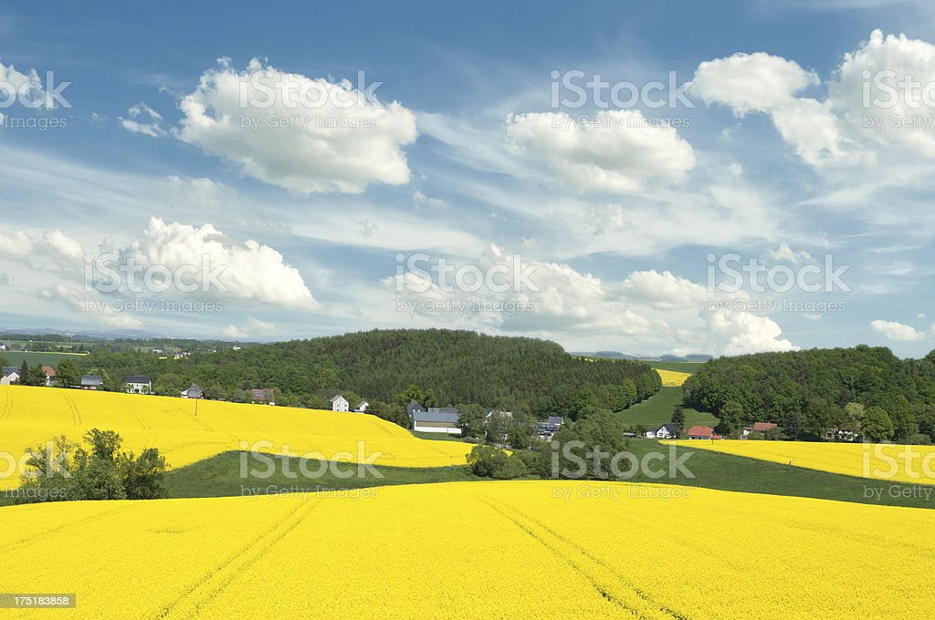 canola field with trees stock photo