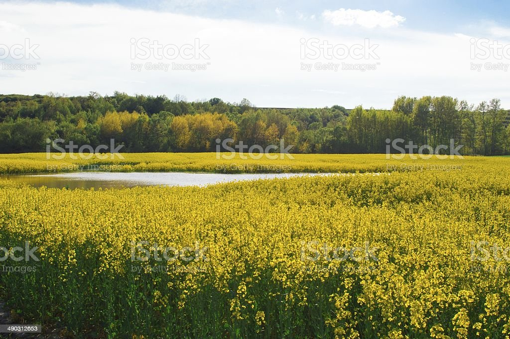Canola field with water and forest stock photo