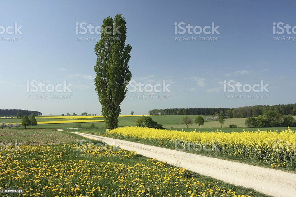 Canola Fields in Germany Spring royalty-free stock photo