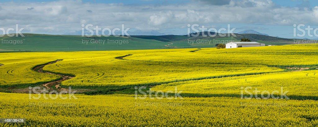 Canola Fields Landscape stock photo
